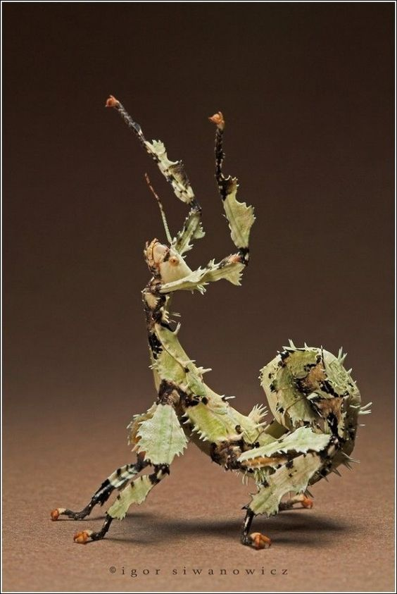 spiny leaf insect, lichen style: Igor Siwanowicz, Insects Spiders, Insect Photographs, Stick Bug, Praying Mantis, Bugs Insects