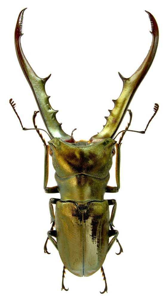 Stag Beetle - the metallic body almost makes it look like a manmade mini-robot or jewelry.: Beetle Check, Insects Spiders, Beautiful Bugs, Beetle Cyclommatus, Beetle Imagine, Insecten Insects, Insects Bugs Arachnids