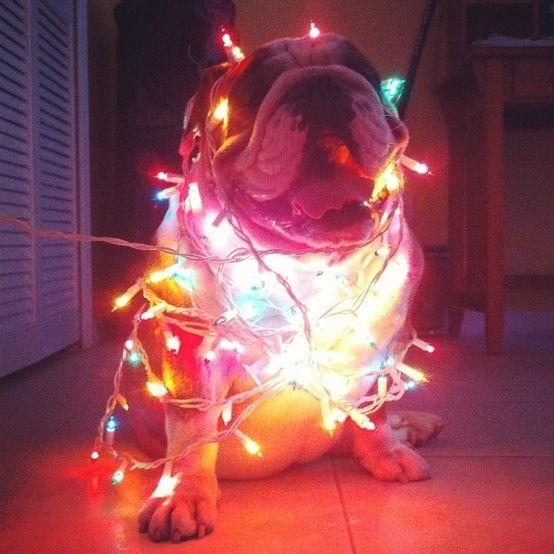 This had been the original plan for my Christmas card...except my bullies wouldn't cooperate.: Doggie Lights, Christmas Cards, Christmas Animals, Bully Lights, English Bulldogs, Christmas Lights