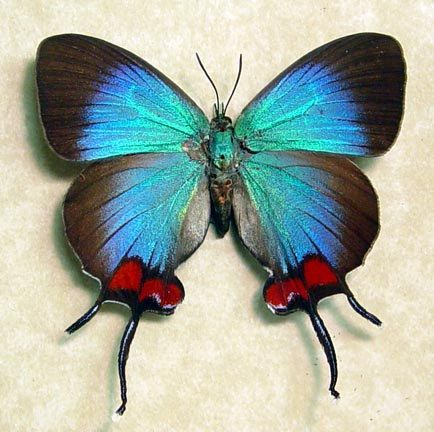 Amazing and rare blue Thecla coronata [Female] butterfly from Ecuador - with delicate swallow-tails and bright-red patches.: Beautiful Butterflies, Thecla Coronata, Rare Blue, Flutterby, Coronata Female, Blue Thecla
