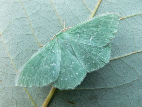 An emerald moth. I believe this picture is by paul@ox-close.co.uk for the East Keswick Wildlife Trust.
