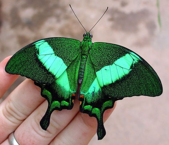 Emerald Swallowtail Butterfly also called Emerald Peacock Butterfly