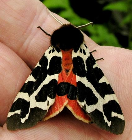 Garden Tiger moth which normally flies at night and is less often seen than its Woolly Bear caterpillars.
