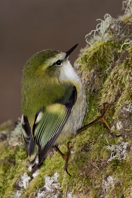 Male Rifleman (titipounamu, Acanthisitta chloris).  New Zealand's smallest endemic bird.  The Rifleman is named after a colonial New Zealand regiment because its plumage drew similarities with the military uniform of a rifleman