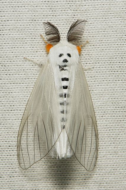 Moth with a panda bear draw, clearwing tussock moth (Perinea sp. family Lymantriidae), found in china.    Photo: John Horstman