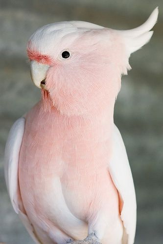 Pinkie ....... O. M. G. ..... this is a beautiful bird !: Animals, Pink Feathers, Color, Pretty Birds, Beautiful Birds, Pink Cockatoo, Pink Bird
