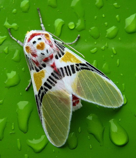 Polilla coloreada / Colorful moth with a monkey face (Idalus herois) by jjrestrepoa, via Flickr