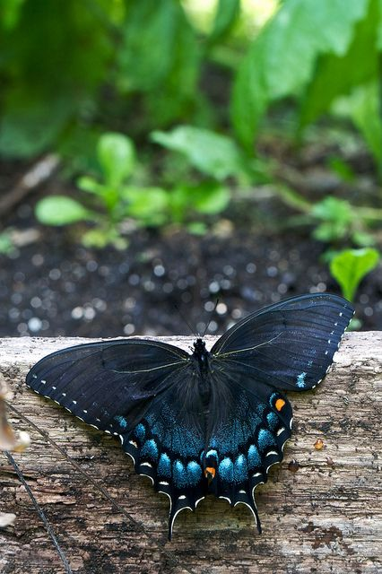 Spicebush Swallowtail (If ever I was to choose a tattoo...this would be it!) LOVE THIS!