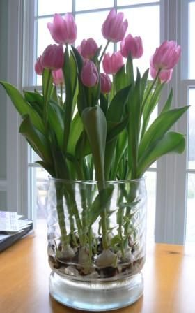 "Tulips Grown in a Glass Vase: ""Tulips to be"" in a wide glass vase, with a dozen or so bare tulip bulbs in the bottom.  There is a little ""grate"" in the bottom of the vase. You simply put water in the bottom, & the bulbs sprout roots, w"