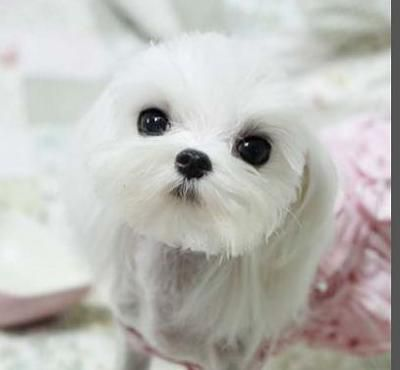 Puppy Cuts - Maltese Dogs Forum : Spoiled Maltese Forums: Maltese Puppy Cut, Maltese Cuts, Maltese Baby, Maltese Haircut, Baby Maltese, Dogs Maltese, Maltese Bischons, Malteser Dog