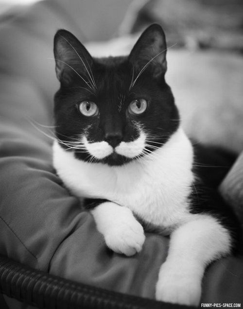 Funny Pictures Of The Day Vol. 103 (35 IMAGES) / Funny Pics Space (elegant): Mustachecat, Cat Stache, Mustache Cat, Cute Animal, Kitty Cat, Kitty Kitty, Mustache Kitty