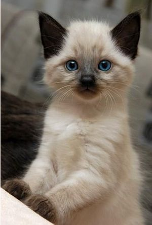 LOVEEEEEEEEEEEEEEEEEEEEEE CATSSSSSSSSSSSSSSSSS: Kitty Cat, Cute Kitten, Siamese Kitten, Blue Eyes, Adorable Kitten, Kitty Kitty, Siamese Cat, Kittycat