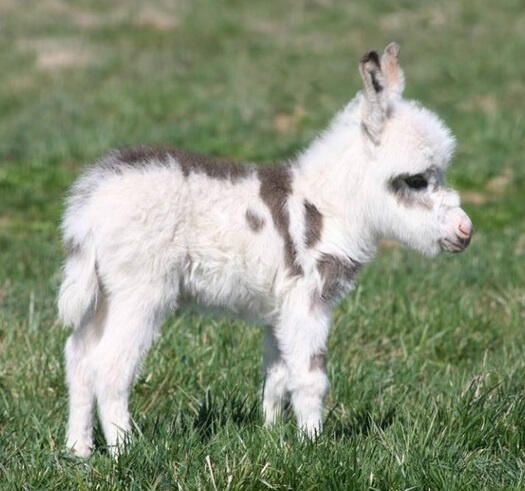 Miniature donkey foal !: Farm Animals, Cute Animal, Baby Donkey, Mini Donkey, Miniature Donkey, Baby Animals, Adorable Animal