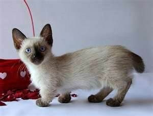 Munchkin kitten. Oh. My. Must get you!: Munchkins Cats, Siamese Cat, Kitty Cat, Munchkin Kitties, Siamese Kitten, Munchkin Cats, Siamese Cat, Munchkin Kittens, Cat Lady