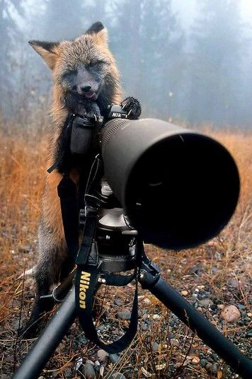 Sometimes the woodland creatures turn the camera on us!: Fox Turns, Michaela Walch, Animal Photography, Foxy Photographer, Creatures Turn, Camera, Animals Photos
