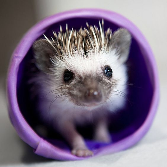 The name for a baby hedgehog is a hoglet. | 20 Enchanting Facts About Hedgehogs: Cute Hedgehog, God, Hedge Hogs, Pygmy Hedgehog, Baby Hedgehogs, African Pygmy, Baby Animals, Pet Hedgehog