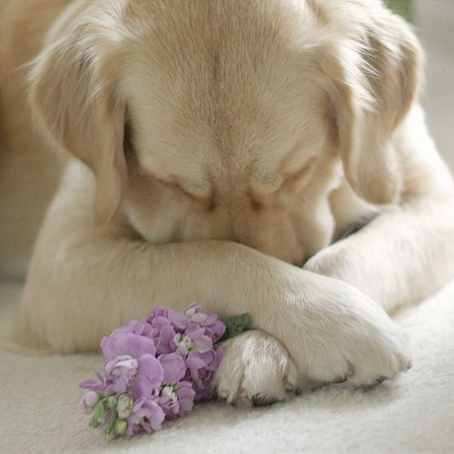wantacookie:    heartbeatoz:    (via thingssheloves): God S, Sweet, Adorable Animals, Cute Animals, Furry Friends, Golden Retriever