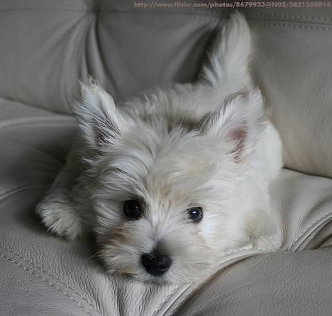 Westie. Too cute for words. These little white Westies just tug at my heart. Sweetest face doesn't cover it.: Westie Love, Wonderful Westies, Baby Westie, Sweet Westie, Dogs Westies, Adorable Westie, Westies Westies