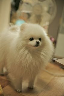 White Pomeranian Moa, Art. This little one is just UGH ^.^: Pomeranian Moa, Pomeranian S, Pomeranians 3, Pom Poms, Old Dogs, Pomeranian Dogs, Fluffy Dogs, Dogs Pomeranian, White Pomeranian