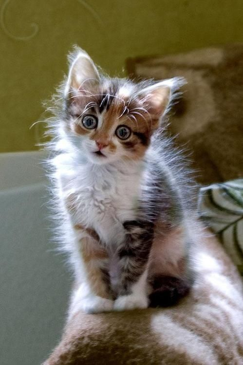 Adorable little calico kitty - that face!: Kitty Cats, Funny Cat, Kitty Kitty, Cat S, Cats Kittens, Cute Kittens, Cat Lady