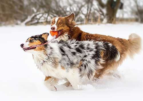 Australian Shepherd Photo of the Month — Photo: Michael Twesten, Aussie: Polly and Houston: Border Aussies, Aussies Playing, Animals Pets, Aussie Photography, Amazing Aussies, Aussies Amazing, Australian Shepherd, Adorable Aussies