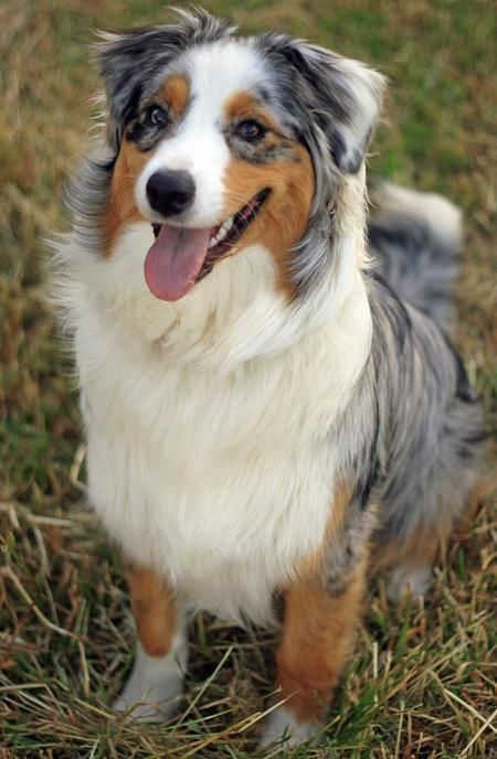 Awe, reminds me of my old buddy Reno, only he was bigger with blue eyes.  I miss my Reno... :(: Australian Shepherd Dogs, Dogs Aussie, Dog S, Beautiful Dogs, Animal
