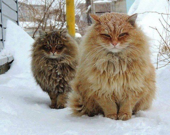 Beautiful Norwegian Forest Cats in their winter coats enjoying the snow.: Kitty Cat, Norwegian Forest Cat, Norwegian Cats, Snow Cat, Kitty Kitty, Siberian Cats, Fluffy Cat, Cat Lady