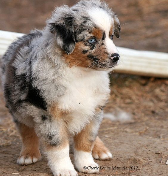 miniature aussies for sale in texas | ... Wyoming, Texas, Wisconsin, Illinois, New York, New Jersey, and Canada: Aussie Puppies For Sale, Miniature Puppies, Puppies For Sale In Illinois, Aussies Puppies, Miniature Aussies, Mini Australian Shepherd, Miniat