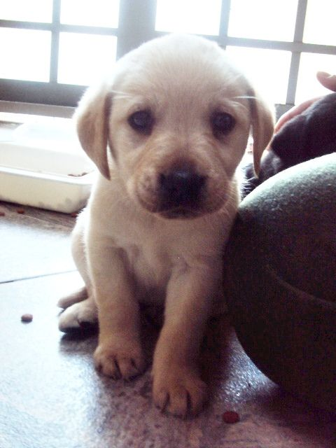 always wanted a little lab. I remember when my Chief was this little. 10yrs old now.: Cute Puppies, Lab Puppies, Labrador Puppies, Cutest Puppies, Baby Lab