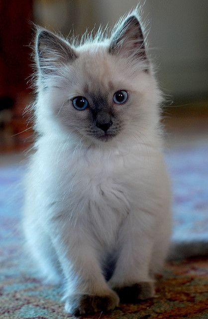 aww this looks like my favorite kitty from my childhood!: Kitty Cat, Adorable Animals, Adorable Kittens, Siamese Kitten, Cute Animals, Cats And Kittens, Cats Cute, Cats Kittens, Cat Kitten Cute