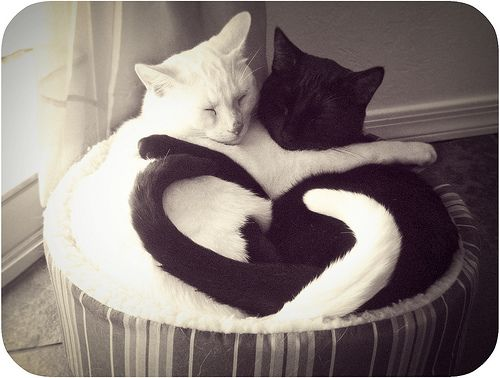 Brotherly love: heart.: Kitty Cat, Sweet, Cat Love, Ying Yang, Black Cat, Yin Yang, Adorable Animal, White Cat