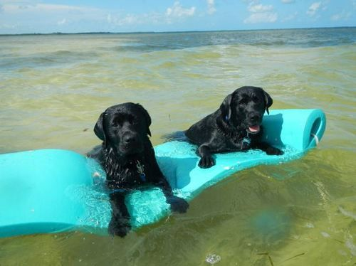 Floating....I had a black lab who loved her pool float: Labs Jet, Black Dogs, Floating Labs, Water Dogs, Labrador S, Labrador Retrievers, Floating Doggies, Black Labs