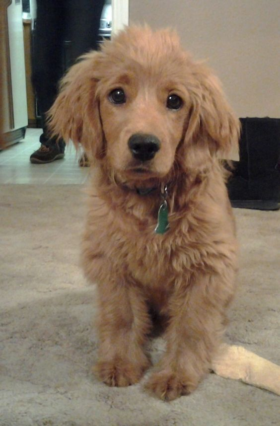 golden cocker retriever full grown. It's a puppy that looks like a puppy forever.: Doggie, Golden Retrievers, Cocker Spaniel, Full Grown, Golden Cocker Retriever, Future Pet, Forever Puppy, Retriever Cocker