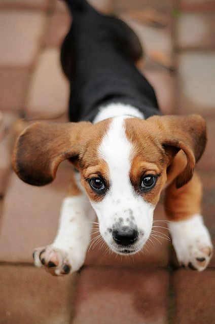 I believe you can fly, too, Oliver. Let's head over to to Selwyn and see if Jordan agrees.: Beagle Puppy, Pet Dogs, Cutest Dogs, Beagle Puppies, Happy Puppy, Beagle Dog, Dog Art
