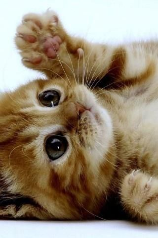 Kitty! . How cute! Receive a $1000,- Petco giftcard for free now! ❤: Kitty Cats, Ginger Kitten, Cute Cat, Kitty Kitty, Cat S, Cats Kittens, Cute Kittens