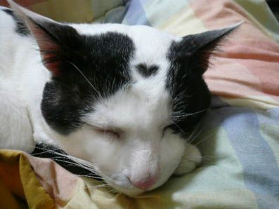 love heart formation on the forehead of a black and white domestic cat • mystic earth home: Headed Cat, Cats Cats, Heart Cat, Funny Cats, Heart Kitty, Cat Marking, Heart Formation, Cat Heart, Baby Cat