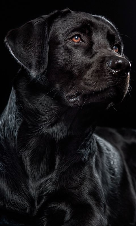 None of these black labs look just quite like Marvin, but that is mostly because he is a mutt and is mainly black lab but also has some boxer and pitt bull. Anyways adorable picture: Black Labrador Retriever, Black Dogs, Beautiful Lab, Beautiful Black, La