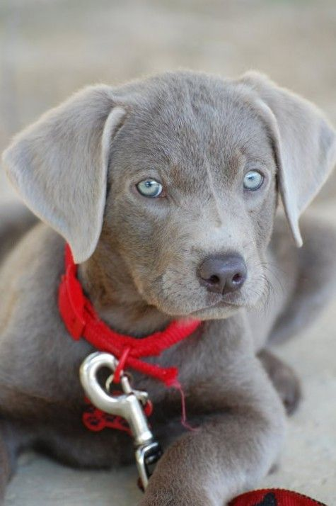 Silver lab....look at those beautiful eyes!!: Doggie, Lab Puppies, Blue Eyes, Lab Beautiful, Silver Labs, Beautiful Dogs