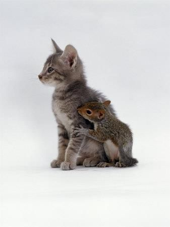 "* * SQUIRREL: "" Pleeze don'ts ignore meez. I haz no famblee and I knowz yoo kin protect me. Be a sport, kitteh."": Cute Cats, Baby Squirrel, Pet, Squirrel Friend, Bff, Cats And Dogs, Kitten Squirrel, Kitty Squirrel"