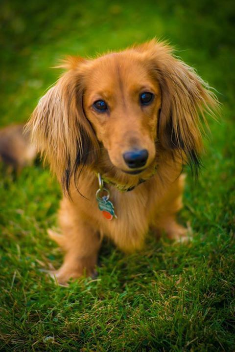 Such a beautiful picture of my lovely boy, Jack. - Imgur: Long Haired Dachshunds, Doxie, Dachshunds Funny, Cute Animals, Long Haired Dachshund Puppy, Long Haired Daschund