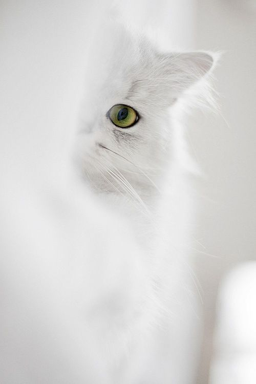 """""""Cats are not impure, they keep watch about us."""" --The Prophet Mohammed: Beautiful Cat, Kitty Cat, Peek A Boos, White Cats, Kitty Kitty, White Kitty, Green Eye, Color White"""
