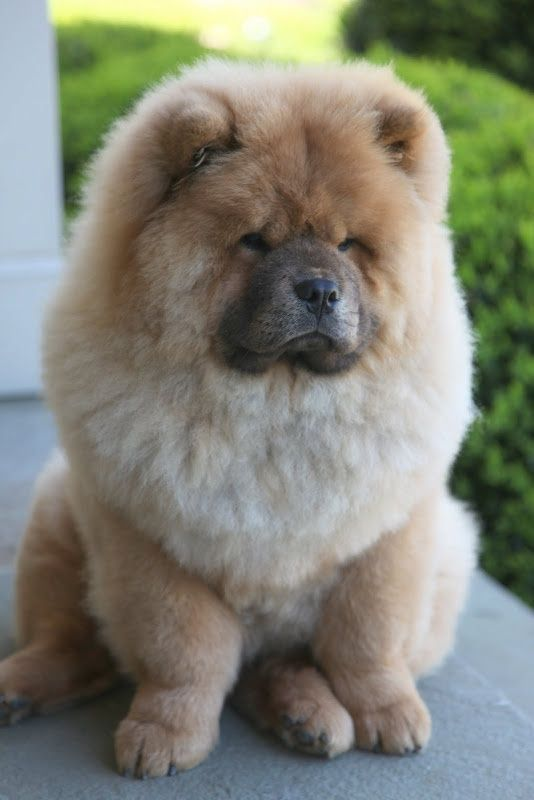 5 Most Expensive Dog Breeds of all times | Breed#03: Expensive Dog, Chow Chow Dogs,  Chow Chow, Chow Puppy, Chow Chow Puppies, Dog Breeds, Animal