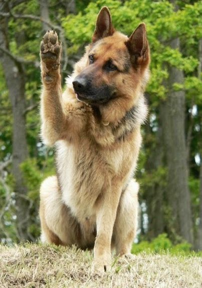 Big old thick shaggy, big headed German shepherd dog. Like Sheppy :): German Shepherd Dogs, German Shepards, Shepherd S, Gsd S, Animals Dogs, German Shepherds, Animals Pets Dogs
