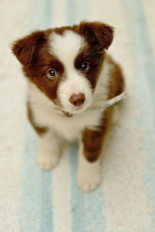 Brown and white border collie puppy with blue eyes. Probably about 2 or 3 months old.: Border Collies, Border Collie Puppies, Cute Puppies, Puppys, Australian Shepherd Puppies, Border Collie Pups, Animal, Puppy S