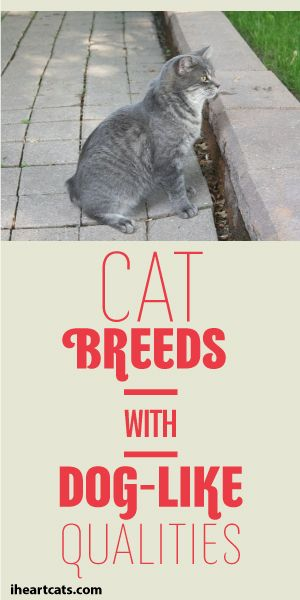 Cat Breeds With Dog-Like Qualities! :): Animals Pets, Cats Breeds, Cute Cat Breed, Cats Bigger, Bigger Cats, Cat Tips Facts Ideas, Kittens Cats, Dog, Cat Breeds