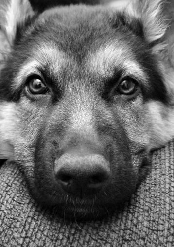 "German Shepherd Dog ... one of handful of dog breeds that have the word ""dog"" in their official AKC name.: German Shepherd Dogs, Doggie, German Shepards, Pet, Germanshepherds, German Shepherds, Gsd, Beautiful Dogs"