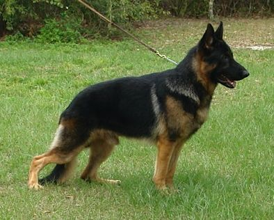 German Shepherd: German Shepherd Dogs, Awsome Dogs,  German Police Dog, Shepard Dog, Cats Dogs, Gsd,  German Shepherd Dog