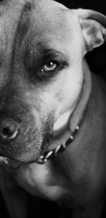 Pitbulls!!!!  The most misunderstood dog in the world. They just want to be loved, not hated. Hate the owner not the breed: Beautiful Pitbulls, Pretty Pittie, Pitbull Picture, Pit Bull Dogs, Pitbull S, Pitty S, Breed Pitbulls