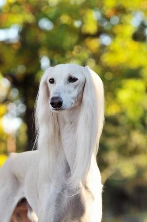 Saluki  this type of dog got 2nd in Best of Show at Eukanuba (msp) dog show 2013: