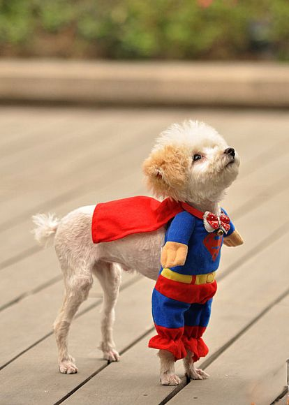 Superdog! If I could get the cat to wear this i would be the happiest little girl in the world.: Halloween Costume, Animals, Dogs, Pet, Funny, Superdog, Puppy